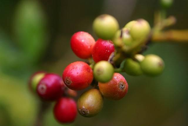 Ceresa de cafe